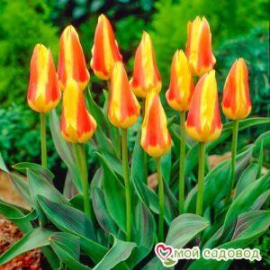 Тюльпаны Кауфмана Корона в Арамилье