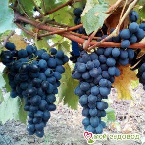 Виноград Молдова в Арамилье