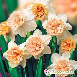 Нарцисс махровый Рози Клауд в Арамилье