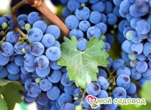 Виноград Аттика в Арамилье