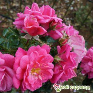 Роза Пальменгартен Франкфурт в Арамилье