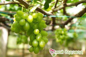 Виноград Первозванный в Арамилье