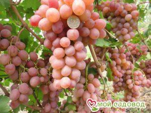 Виноград Рута в Арамилье