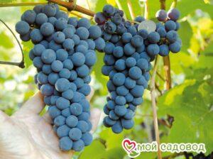 Виноград Амурский синий в Арамилье