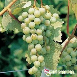 Виноград Маркиз в Арамилье