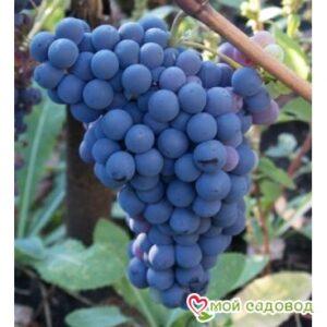 Виноград Чёрный Изумруд в Арамилье