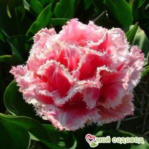 Тюльпан бахромчатый Квинсленд (QUEENSLAND) в Арамилье