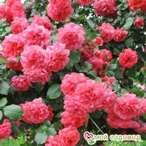 Роза Розариум Ютерзен в Арамилье
