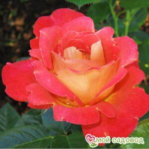 Роза Декор Арлекин в Арамилье