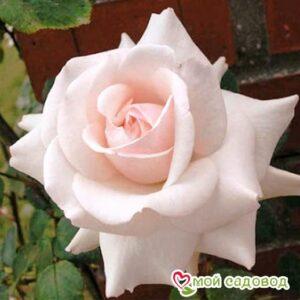 Роза Эмили Грей в Арамилье