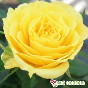 Роза Аполло в Арамилье