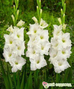 Гладиолус Белая Невеста в Арамилье