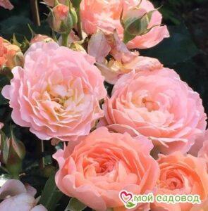 Роза Бордюр Априкот в Арамилье