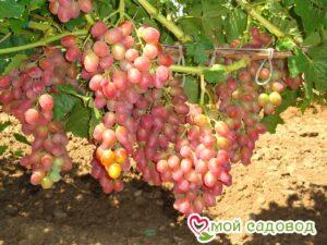 Виноград Розовая дымка в Арамилье