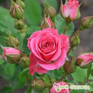 Роза Спрей розовый в Арамилье