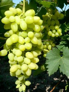 Виноград Осенний крупноплодный в Арамилье