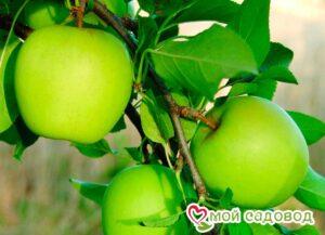 Яблоня Гренни Смит в Арамилье