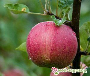 Яблоня Джонатан в Арамилье