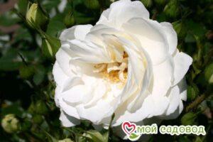 Роза Вайсе Вольке в Арамилье