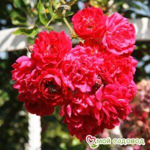 Роза Эксцельза в Арамилье