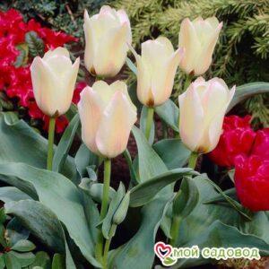 Тюльпан ботанический Альбион Стар в Арамилье