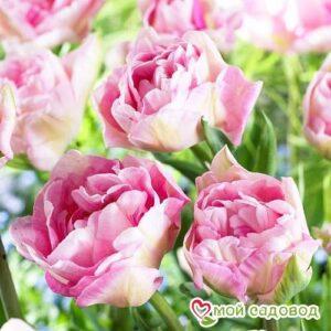 Тюльпан махровый Анжелика в Арамилье