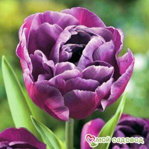 Тюльпан махровый Блю Даймонд в Арамилье