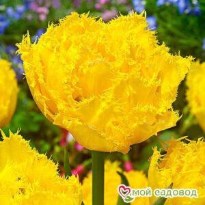 Тюльпан бахромчатый Экзотик Сан в Арамилье
