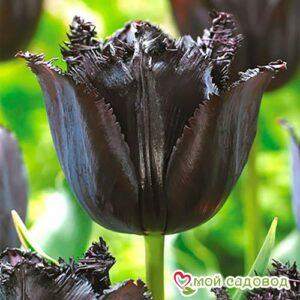 Тюльпан бахромчатый Блэк в Арамилье