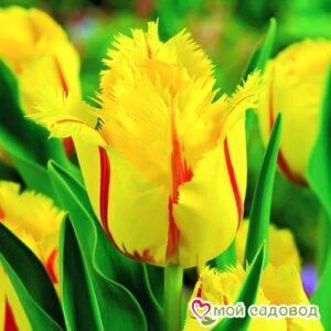 Тюльпан бахромчатый Фламенко в Арамилье