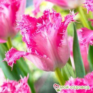 Тюльпан бахромчатый Сантандер в Арамилье