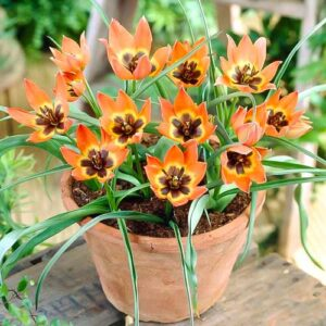 Тюльпан ботанический Литтл Принцесс в Арамилье