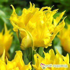 Тюльпан лилиецветный Монте Спайдер в Арамилье