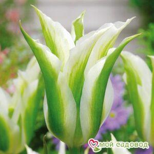 Тюльпан зеленоцветный Уайт Спринг Грин в Арамилье