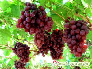 Виноград Руби сидлис в Арамилье