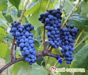 Виноград Венус в Арамилье