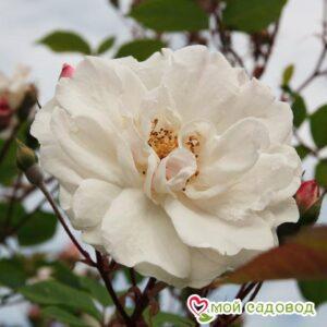 Роза Белый каскад в Арамилье