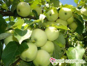 Яблоня Белый налив (-45°C) в Арамилье