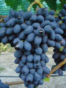 Виноград Кодрянка в Арамилье