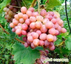 Виноград Ливия в Арамилье