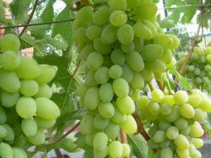 Виноград Алекса в Арамилье
