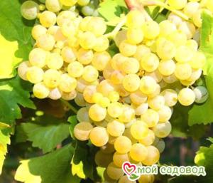 Виноград Виорика в Арамилье