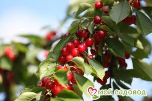 Вишня Осенняя в Арамилье