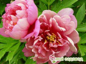 Пион Пинк Дабл Молочноцветковый в Арамилье