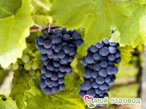 Виноград Молдавский в Арамилье