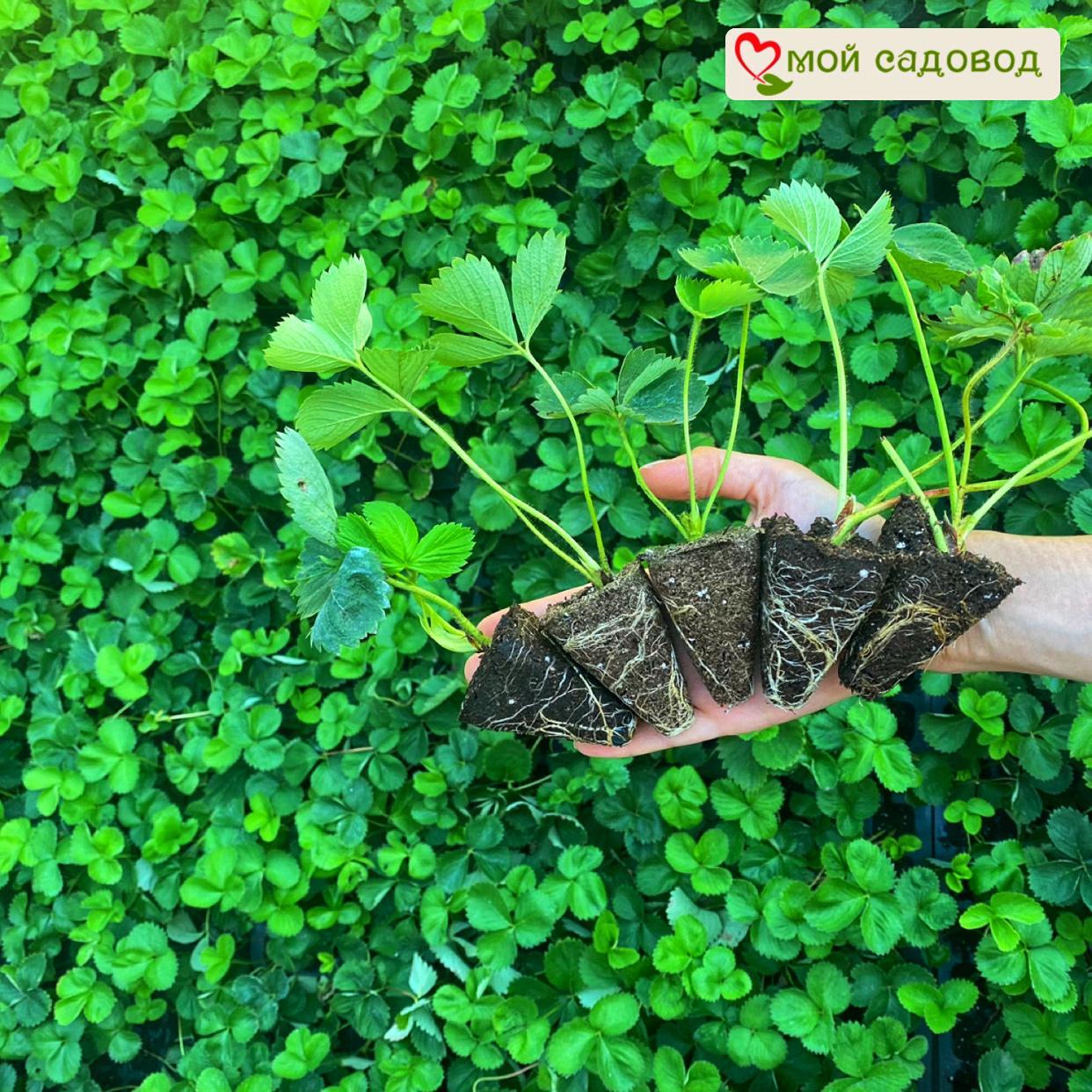 Клубника Азия (ранний сорт) (3) в Арамилье