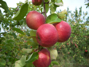 Яблоня Жигулевское в Арамилье