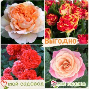 Комплект роз! Роза плетистая, спрей, чайн-гибридная и Английская роза в одном комплекте в Арамилье