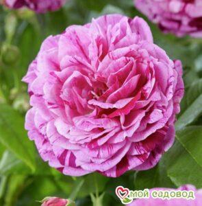 Роза парковая Фердинанд Пичард в Арамилье