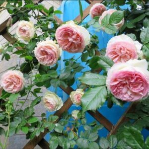Роза плетистая Пьер де Ронсар в Арамилье